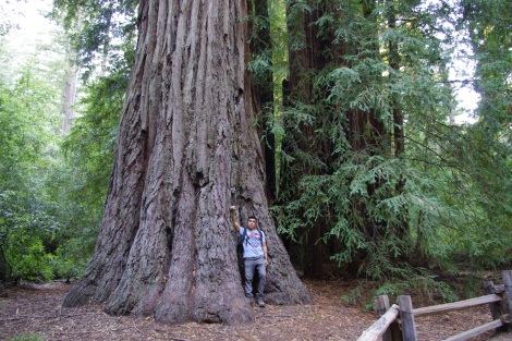 The Giant Redwoods of Big Basin