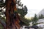 Western Sierra Juniper